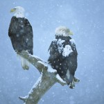 bald_eagles_in_falling_snow_kenai_peninsula_alaska-wallpaper-1920x1080