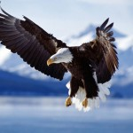 bald_eagle-wallpaper-bigger