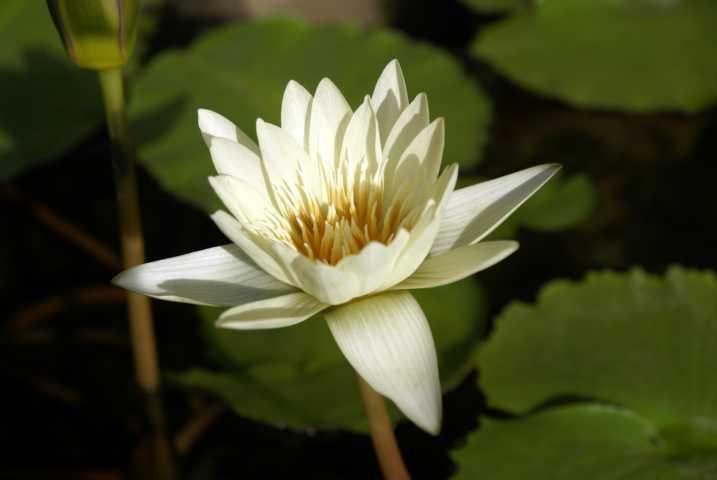 bloominglotus.JPG